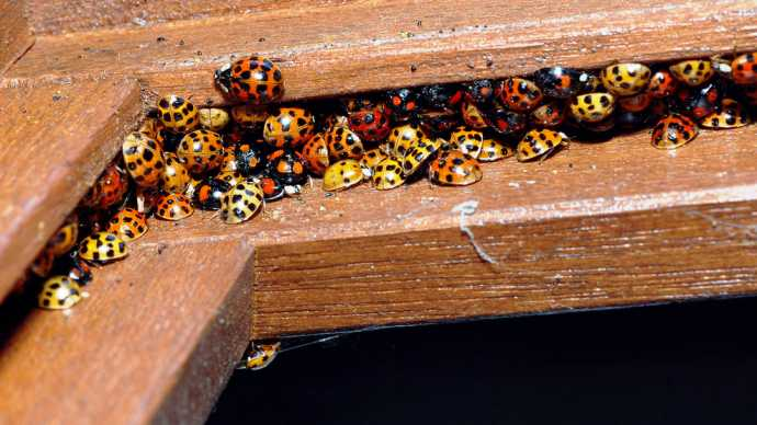 Right Out Horror Movie--Millions Ladybugs Descend on