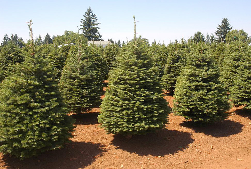 Natural Christmas Tree.What Happens With Christmas Trees After Holidays Tellwut Com