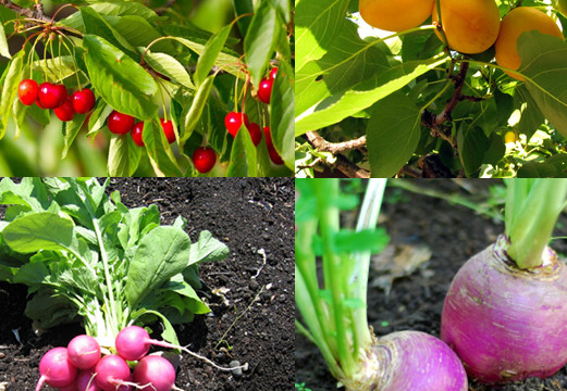 12 fast growing vegetables and fruit trees for your home ...