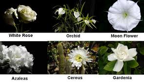 Moon gardens tellwut night bloomers include the moonflower it really does bloom at night evening primrose mightylinksfo