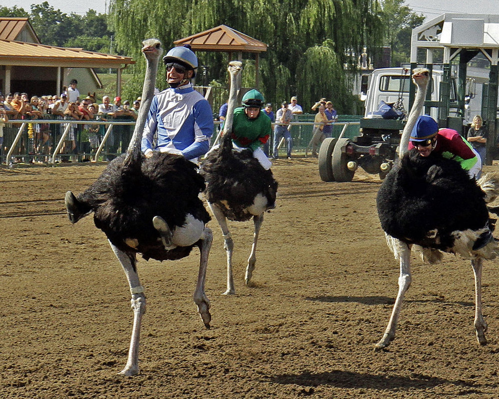 ostrich racing gif