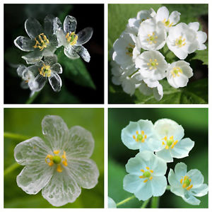 Skeleton flower tellwut if you had these flowers would you want to watch them turn from transparent to mightylinksfo