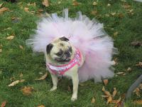 Some Pugs are destined to wear the latest Pug o'ween fashion from Petco or Petsmart. Poor Pugs. Others, like this little girl, prance around in their costumes made just for them. Have you ever made a Halloween costume?