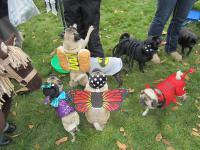 One thing's for sure when it comes to Pug o'Ween. There will be more tricked-out pugs in one place than you've ever seen. Knowing this, will you try to find a Pug o'Ween in your area? (Most cities have them, believe it or not!)