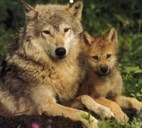 Which wolf facts do you know?