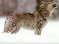 Do you have wolves in the State or area where you live?