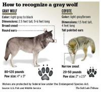Do you know the difference between a wolf and a coyote?