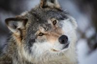 Do you have respect for the wolf or do you dislike them?
