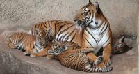You can help save a Tiger by adopting one through WWF http://gifts.worldwildlife.org/gift-center/gifts/Species-Adoptions/Tiger.aspx