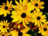 Rudbeckia hirta (commonly called black-eyed-susan) is a North American species of flowering plants in the sunflower family. Do you like Black-Eyed-Susan's?