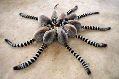 Lemurs eat at Qingdao Forest Wildlife World at Qingdao, China (January of 2015). At first glance did the lemurs look like a giant spider to you?