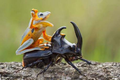 A frog rides a beetle in Sambas, Indonesia (January of 2015). Do you like this unique image of the frog and the beetle?