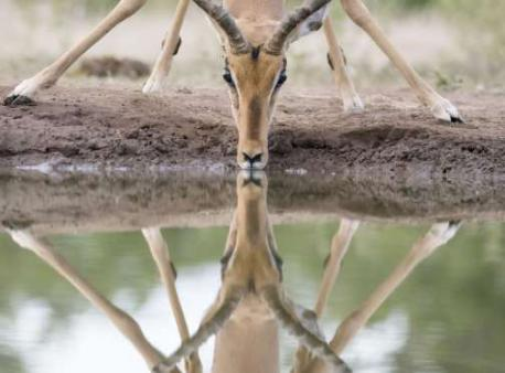 An impala drinking water from a puddle in Mashatu Game Reserve. Botswana (February of 2015). Did this image make you take a double look with the water reflection of the impala?