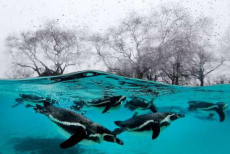 Penguins swim in the pool during the annual stock take at the London zoo (January of 2015). Do you like this underwater image of the swimming penguins?