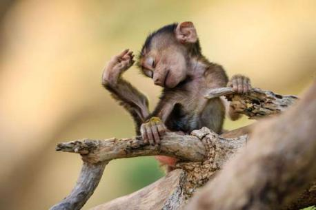 A baby baboon seen in Tarangire National Park, Tanzania (August of 2015). Do you think this is one of the cutest images you have ever seen?