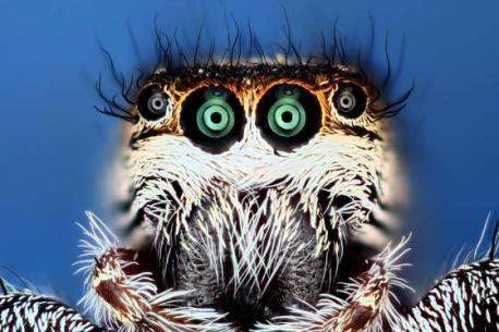 Jumping spider taken in Connecticut U.S. (October of 2015). Does this image of the spider kinda freak you out a bit?