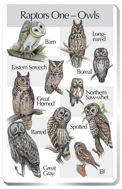 It has been widely accepted that 216 species of owls exist today, and of these 216 species, 18 belong to the Barn Owl family and 198 belong to the typical owl family. Which common type of Owls are you familiar with?