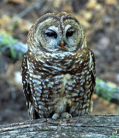Have you seen any of these owl species in the area where you live (ones that are listed in question #1)?