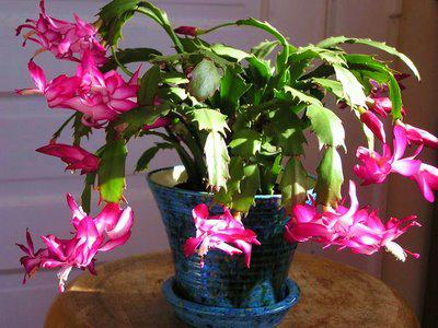 What type of plants or flowers do you have in your house for the Christmas season?