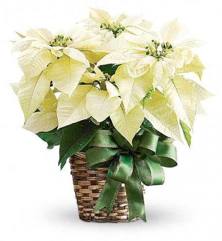 What color of Poinsettia's do you prefer?