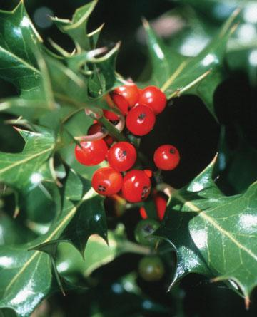 Which facts are you familiar with for these Christmas plants and flowers?