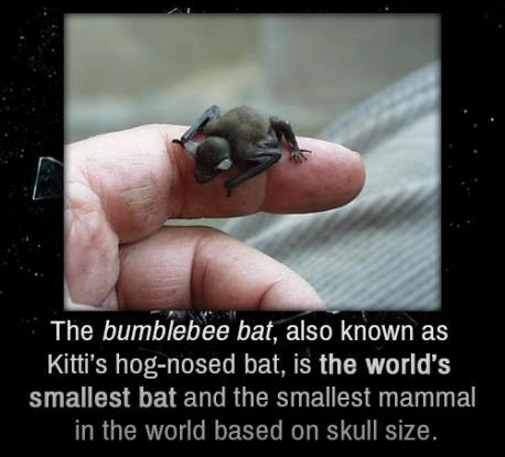 Is this the first time you have heard about the Kitti's Hog-Nosed Bat (or Bumble Bat)?