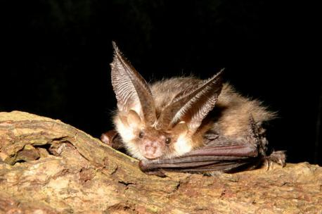 There's much about the Hog-Nosed Bat that remains unknown. Which of these facts are you aware of?