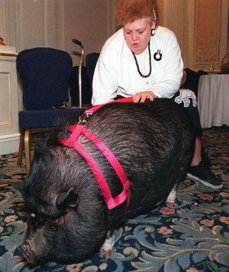 LULU THE POTBELLY PIG: When JoAnn Altsman had a heart attack and collapsed to the ground, Lulu, her daughter's pot-bellied pig, rushed out of the house, lying down in the street to stop traffic. The pig tried relentlessly to get help, returning to the house to check on JoAnn, only to rush back to the street for help. Finally, one person stopped and followed the determined pig back to the house, where they found Altsman in pain on the floor. She was immediately rushed to a hospital. Do you think Lulu's persistence helped her owner JoAnn?