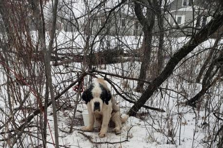 Source: US News. A St. Bernard who ran away from a foster home in Minnesota has been found alive after surviving 17 days in freezing temperatures. Are you familiar with this story?