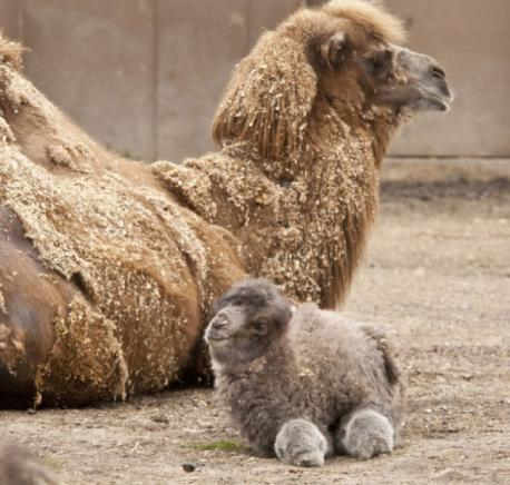 Probably having the adult version of this animal would be very inconvenient. However, the baby camel is quite a cutie. What do you think?