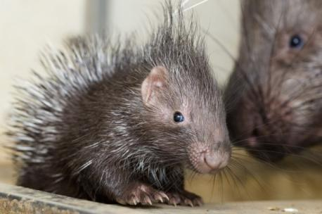 Don't know how many would want the adult porcupine around, but the babies sure are cute! What do you think?