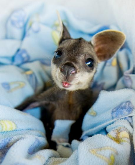 Most of us have see the adult version in the zoo or on TV. But really just how cute is this baby kangaroo?