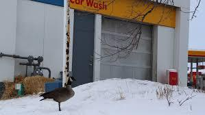Instead of heading south for the winter, a Canada goose has been squatting at a Winnipeg, Manitoba car wash. The goose, nicknamed Will, undoubtedly for his