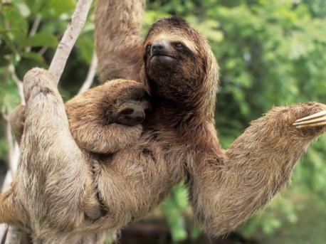 Everything about life is slow for sloths. Sloths have leafy, low-calorie diets and very slow metabolisms to match. Their metabolic rate is only about 40-45% of what would be typical for their body weight. Because of this specialized metabolism, sloths need to conserve their energy. So, they move slowly and tend not to wander far from their small home ranges. Most sloths will only have a bowel movement once a week, and it can take them up to 30 days to completely digest a single leaf. For comparison, it takes the average human 12 to 48 hours to ingest, digest, and eliminate waste from food. Have you ever heard or used the term