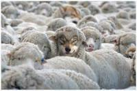 A wolf in sheep's clothing is an idiom of Biblical origin. It is used of those playing a role contrary to their real character, with whom contact is dangerous. Did you ever meet a wolf in sheep's clothing?