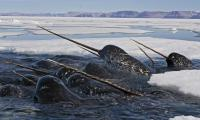 Narwhals are mostly hunted by polar bears and orcas. Native Inuit people are allowed to hunt this whale legally. The narwhal's habitat is threatened by the effects of climate change and pollution. Their small population size, limited range, and reliance on Arctic fish that are also being affected by climate-induced available food changes, make them extremely vulnerable. A recent study concluded that the narwhal might be even more sensitive to the impacts of climate change than the polar bear. Females give birth every 3 years or so and can nurse their calves for over a year. Gestation takes up to 16 months. Mostly only one calf is born. Does it bother you that 5,689 species are endangered, while 10,002 are vulnerable and 3879 are critically endangered?