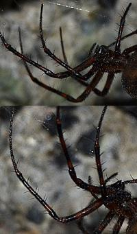 Meta bourneties measure over 30mm in diameter, leg-span included. They are amongst the largest spiders found in Britain. The population at Highgate Cemetery was estimated in 100 adults. The local Wild Life authorities mentioned that
