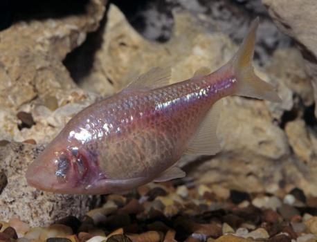 The blind cavefish | They don't have any eyes and also lack any pigmentation. At some point in their distant past, these fish became trapped in pitch-black underwater caves, where the only food available was swept in with the annual flood. The survivors discarded unnecessary attributes, like eyesight and coloring, and picked up new ones, like starvation resistance. They had alterations in a gene called melanocortin or MC4R, which enabled the fish to eat without limit and pack on the pounds to hold them over until their next meal. The water bear and the blind cavefish seem to master how to survive for a long time without eating. Are there any other creatures you know that can survive without food for a long time?