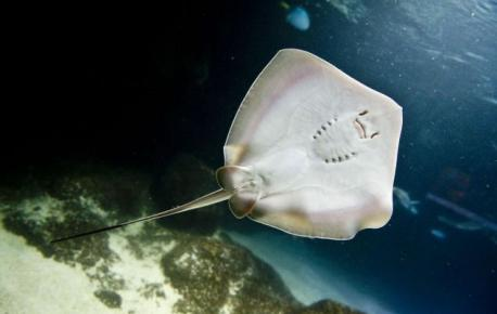 While the stingray's eyes peer out from its dorsal side, its mouth, nostrils, and gill slits are situated on its underbelly. Its eyes are therefore not thought by scientists to play a considerable role in hunting. Like its shark relatives, the stingray is outfitted with electrical sensors (ampullae of Lorenzini). Located around the stingray's mouth, these organs sense the natural electrical charges of potential prey. Many rays have jaw teeth to enable them to crush mollusks such as clams, oysters, and mussels. Most stingrays are ovoviviparous, meaning they bear live young in litters of up to 13. In the wild, stingrays can live up to 25 years. The manta ray can measure up to 25 feet across and weigh 2,900lbs. Did you know these facts before this survey?