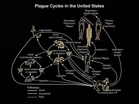 Plague is a serious infection of humans caused by bacteria called Yersinia pestis. It is usually caused by the bite of a flea that has fed on an infected wild animal, such as a rat, chipmunk or prairie dog. It usually causes large sores and abscesses in the glands of the arms and legs. Dogs and cats can also become infected and can spread the disease to their human companions. Even though, human cases are rare. Plague is treatable with antibiotics. Did you hear about anyone getting this disease in your area?