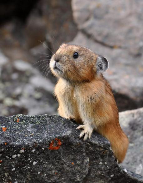 Pika, (genus Ochotona), small short-legged and virtually tailless egg-shaped mammal found in the mountains of western North America and much of Asia. Despite their small size, body shape, and round ears, pikas are not rodents but the smallest representatives of the lagomorphs, a group otherwise represented only by hares and rabbits (family Leporidae). Have you ever seen one of these tiny creatures?