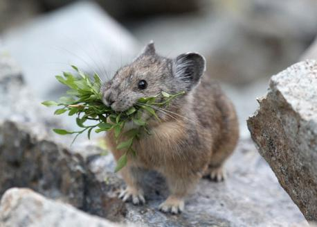 There are dramatic differences between pikas that inhabit rocky terrain and those that construct burrows in open habitats. Rock dwellers are generally long-lived (up to seven years) and occur at low density, their populations tending to be stable over time. In contrast, burrowing pikas rarely live more than one year, and their widely fluctuating populations may be 30 or more times as dense. These dense populations fluctuate widely. The contrast between rock-dwelling and burrowing pikas extends to their reproduction. Rock-dwelling pikas normally initiate only two litters per year, and generally only one of these is successfully weaned. It is believed that the second litter is successful only when the first offspring are lost early in the breeding season. Litter size of most rock dwellers is low, but burrowing pikas may produce multiple large litters each season. The steppe pika (O. pusilla) has been reported to have litters of as many as 13 young and breed up to five times in a year. Have you ever seen any of their