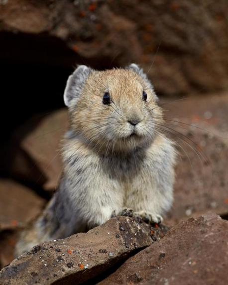 Unlike rabbits and hares, pikas are active during the day, with the exception of the nocturnal steppe pikas (O. pusilla). Being largely alpine or boreal species, most pikas are adapted to living in cold environments and cannot tolerate heat. When temperatures are high, they confine their activity to early morning and late afternoon. Pikas do not hibernate, and they are generalized herbivores. Where snow blankets their environment (as is often the case), they construct caches of vegetation called haypiles to provide food during winter. A characteristic behaviour of rock-dwelling pikas during summer is their repeated trips to meadows adjoining the talus to harvest plants for the haypile. One often repeated but untrue tale is that pikas lay their hay on rocks to dry before storing it. Rather, pikas carry their provisions straight to their haypile unless disturbed. Similar to other lagomorphs, pikas practice coprophagy (see rabbit) to provide additional vitamins and nutrients from their relatively poor-quality forage. Can you mention other animals with similar behavior?