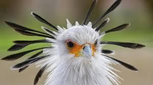 These birds are basically terrestrial, taking to flight only when hard-pressed. Usually only single birds are found, with members of a pair some distance apart. The Secretary bird walks well on extremely long legs, and a bird may plod up to twenty miles in a day. When pursued, it relies on its speed to escape. It finds most of its food on the ground and has a partiality for snakes. It grabs the snake with its strong toes and beats it to death on the ground, while protecting itself from bites with its large wings. Finally, it seizes its prey and hurls it into the air several times to stun it. In South Africa, these birds are kept in captivity to destroy snakes and rats. In addition to finding food with its beak, the Secretary bird will also stamp on grass tussocks with its feet to scare up lizards, grasshoppers, and small mammals or birds. The basic social structure in Secretary birds is a life-long pair. However, they are not particularly gregarious. In fact, members of a pair are usually not together, but instead stay a small distance apart. Are they similar to birds in your area? If there is any resemblance, please let us know the details in the comments below. Thanks.