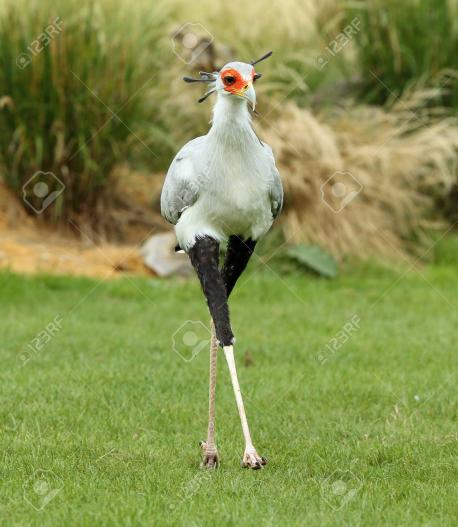 When hunting, it spreads its crest feathers like a fan and seeks food with its short hooked beak. The legs are well protected from bites by a layer of thick scales. If pursued, the Secretary Bird relies on the speed of its legs but may spread its wings to aid the running. Secretary Birds spend a great deal of time on the ground walking around and searching for prey. Small animals are simply picked up and swallowed. They are opportunistic birds and gather at recently burnt out areas where prey are often injured and without plant cover. Though not a social bird, they often hunt in small groups or pairs, and keep in contact by hooting. Do you consider this bird beautiful?