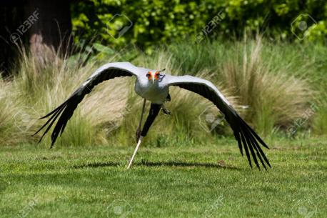 It is found in open areas of plains and savanna country, and often congregates at areas that have been recently burnt, where mammals are deprived of cover and often injured. The Secretary bird is widespread throughout Africa south of the Sahara. Remember that any changes in nature's balance can be very helpful of too bad. We rarely know the outcome till it's done. Would you like to get these birds brought to areas in the US where they could be helpful getting rid of plagues?