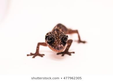 The Masobe gecko (Paroedura masobe) is a small, ground-dwelling reptile native only to Madagascar. The species first appeared on the IUCN Red List of Endangered Species in 2011. It is only known to inhabit two distribution sites. Populations can only be found between the elevations of 300 to 600 meters, with an extent of occurrence of 410 km². However, it is estimated that individuals truly only reside within an area of 100 km², referred to as the species' true distributional extent of occurrence. The Masobe gecko population is considered to be both decreasing and severely fragmented. The species itself is hard to find in the wild, partially because individuals are nocturnal. Although these small geckos are considered to be ground dwelling, they primarily reside on vegetation between 1 and 4 meters above the ground. Individuals can live up to 8 years or more. Considering that they are an endangered species, do you think that promoting having them as pets will help to keep the population stable and growing?