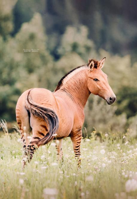 The Zorse is very Horse-like in appearance as it inherits its shape, size, colour and temperament from its mother. One of the Zorse's most notable features is the dark stripes that are boldest on their legs and rear, along with also commonly being found on the rest of the body, neck and head. The Zorse tends to have short, coarse fur that can range in colour from tan to brown to black, with a darker mane and tail (although the exact characteristics of the Zorse are dependent on the breed of the female Horse). Zorses have a large head with a long muzzle, pricked up ears and large, dark eyes with long eyelashes that help to stop things from getting in their eyes. Zorses have long, thin legs that are incredibly muscular and end in generally black (but sometimes white) coloured hooves that are made from horn and allow the Zorse to be more sturdy when moving through various different terrains. Would you like this animal to be more popular in North America?