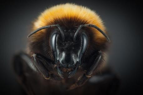 The survival of any bee in the Arctic seems like a small wonder of nature, but Bolotov and his colleagues speculated whether this population had an even more striking, unusual history, even among bees living in extreme places. Much of that part of the world was almost completely covered in ice during the Last Glacial Maximum, around 25,000 years ago. But some scientists think that even in that bleak expanse there were ice-free areas, where a small number of plants and animals lived. It seems possible that the bees of Novaya Zemlya had come to the islands after the ice sheets retreated, but also that they may have lived there through the cold periods, a community of bees even more isolated than it is today. Is there any creature from the Artic that you particularly like? If so, please let us know a bit more about it.