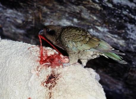 Finally, Keas are omnivores, so sheep aren't their only prey. In addition to sheep, rabbits, and other mammals, they feed upon 40 species of plant, beetle larva, human garbage, and even other birds. But, in another dark twist, if they hear shearwater chicks in a nest, they will break into the nest and devour them. I was convinced that parrots could only eat seeds and fruit. Not any more. Can you mention any other carnivorous small birds?